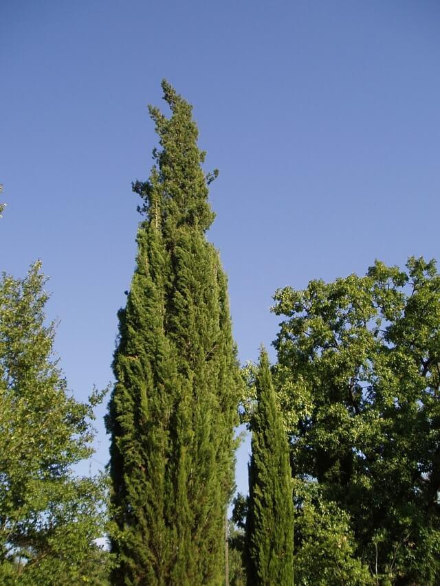 Krzew jałowca, Grasse