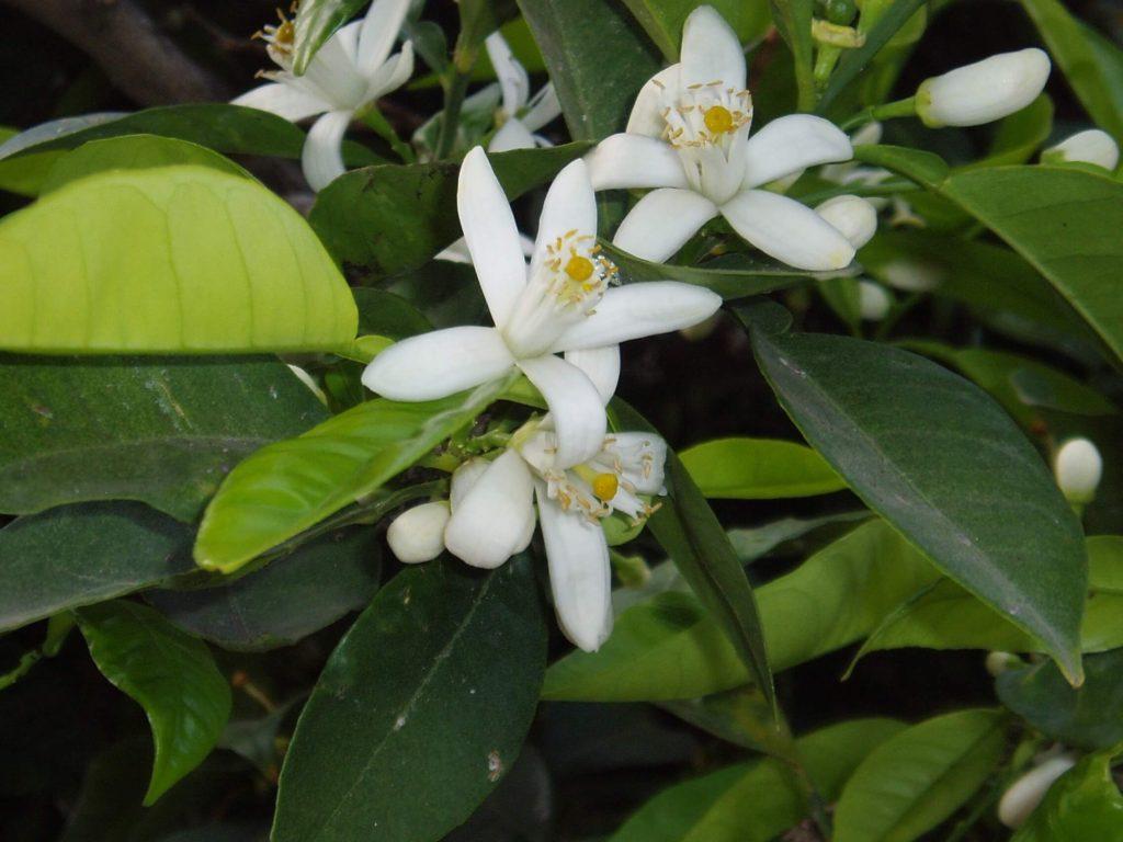 Kwiaty drzewa pomarańczy gorzkiej (neroli)