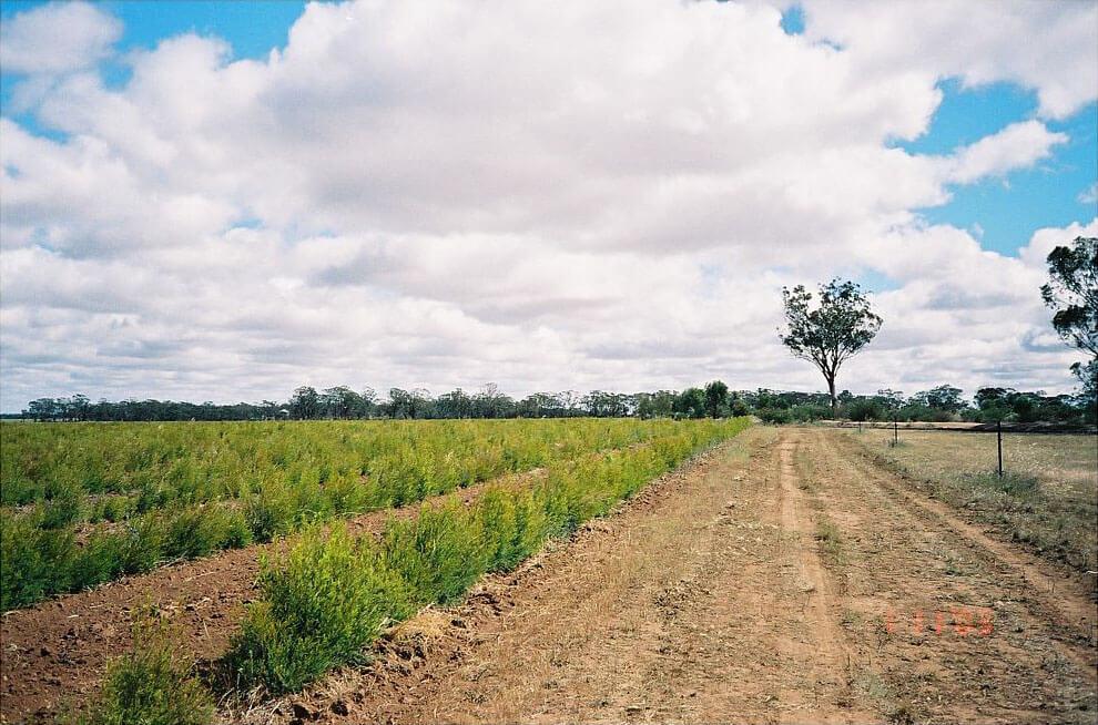 Plantacja drzewa herbacianego, w głębi dorosłe drzewo. Australia. Fot. W.S.Brud